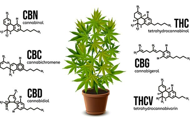 Soulsome Cold-Pressed CBD Oil Cannabinoids Infographic